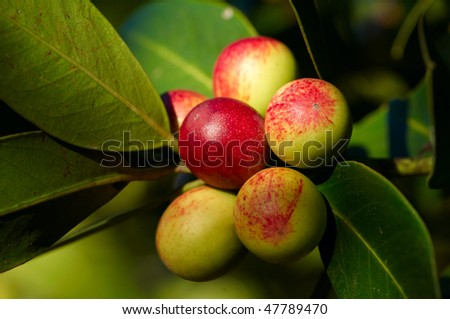 Apples growing on the tree - stock photo