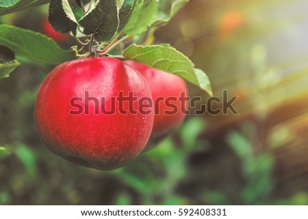 Apples hanging on the branch