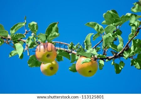 apples in an Apple orchard on the branch of a sour-sweet Apple trees of green red color with green leaves on the background of the bright blue sky - stock photo