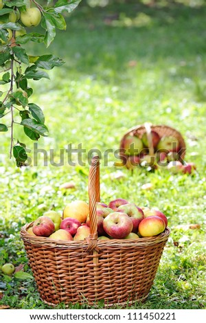 Apples in the Basket.