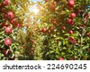 apples in the orchard - stock photo