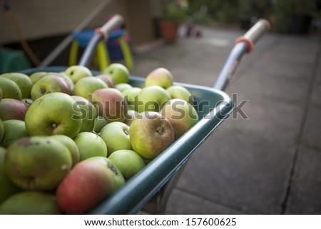 Apples in Wheelbarrow - stock photo