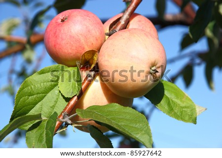 Apples on a branch against the blue sky with leaves - stock photo