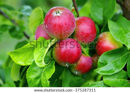 Apples on apple tree after rain in august. - stock photo
