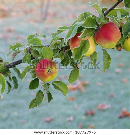 Apples on branch - stock photo