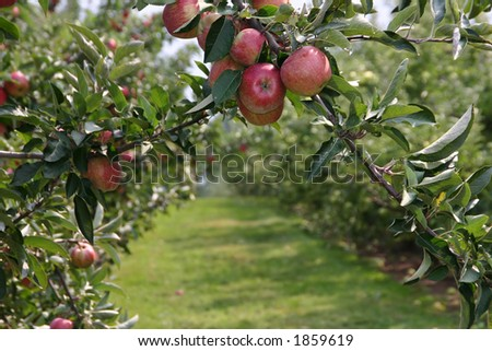 Apples ready to pick! - stock photo