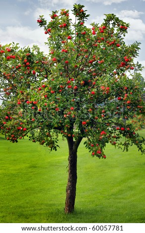 Apples waiting for harvest - stock photo