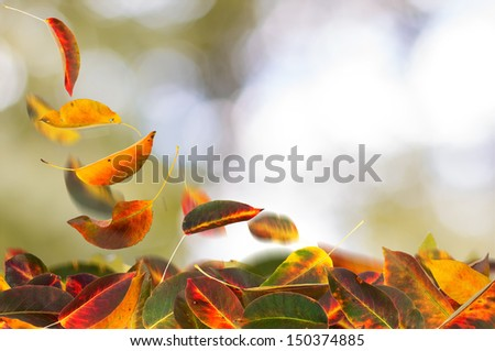Apricot autumn leaves falling, on natural background. - stock photo