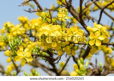 Apricot bloomsom (vietnamese hoa mai) ,the flowers of traditional Vietnamese new year for sell at Binh Dong harbor (Ben Binh Dong) - stock photo