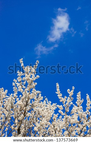 Apricot blossom against the blue sky