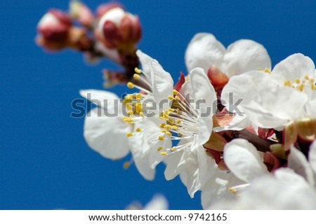 Apricot blossom branch close-up with opened flowers and flower bud against the background of blue sky