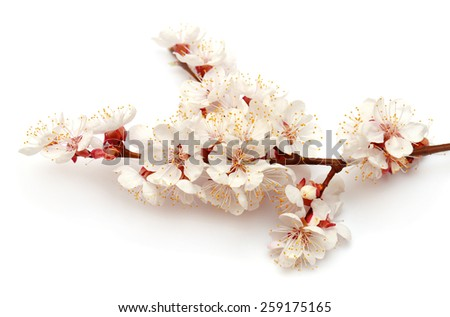 Apricot blossom branch isolated on white background - stock photo