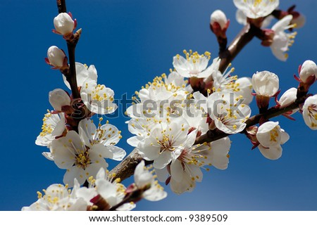 apricot blossom branch with many flowers isolated