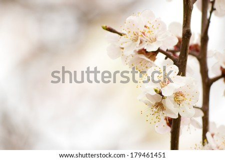 Apricot blossom close-up. Selective focus (shallow depth of field). - stock photo