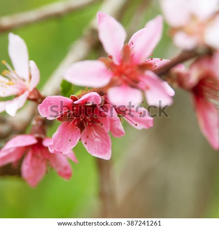 Apricot blossom close-up. Shallow depth of field. Apricot - Prunus armeniaca is sort of family Rosaceae. - stock photo