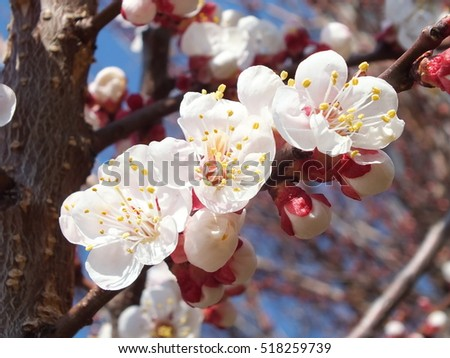 Apricot blossom. Fresh spring backgrund