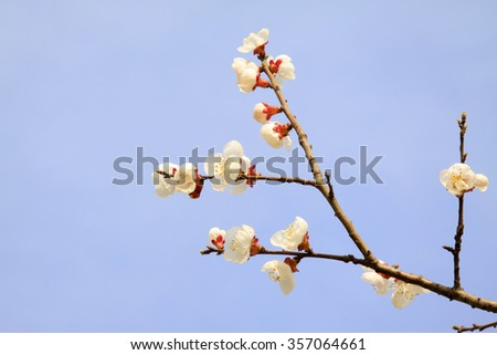 Apricot blossom in the wild, closeup of photo