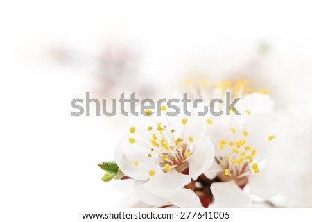 Apricot blossom isolated on a white background. - stock photo