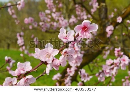 apricot blossom (vintage,soft focus,lens blur)