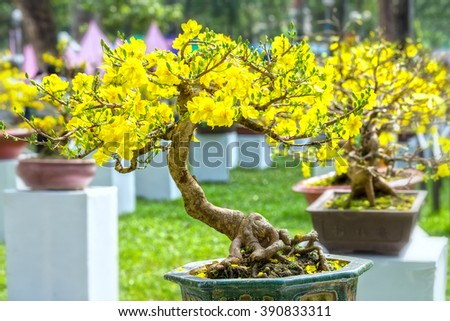 Apricot bonsai tree in spring with blooming trees winding austere appearance but above the beautiful flowers blooming Apricot yellow in spring sunshine greeted the new year - stock photo