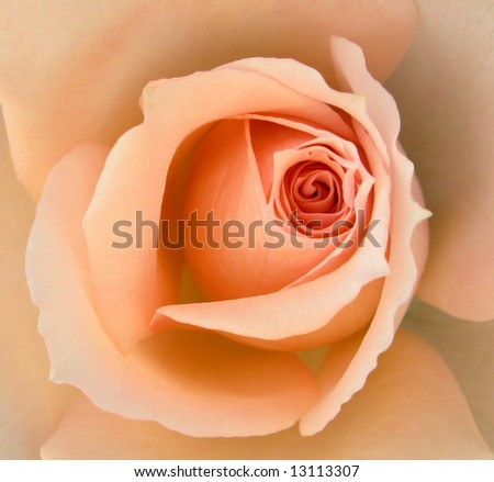 Apricot Delight - stock photo