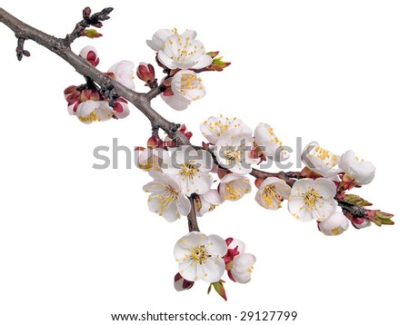 Apricot flower (isolated).