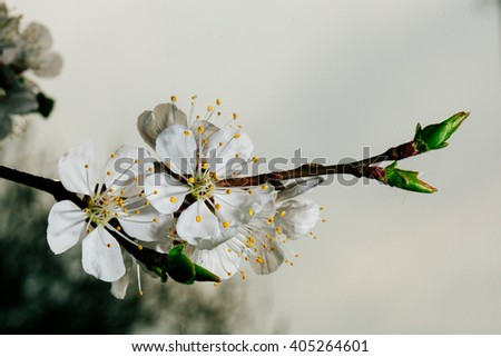 Apricot flower on sky background close-up