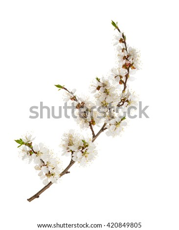 Apricot flowers isolated on white. without shadow