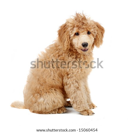 Apricot 4 mont Poodle puppy in front of a white background - stock photo
