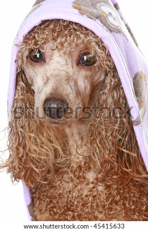 Apricot poodle after a bath, isolated on white background