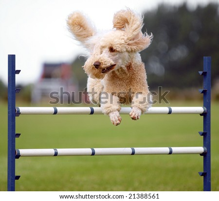 Apricot Poodle clearing an agility jump - stock photo