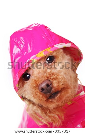 apricot poodle in bright pink raincoat - stock photo