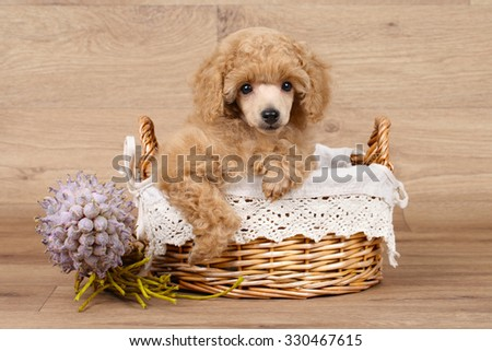 Apricot Poodle puppy in basket on a wooden background - stock photo