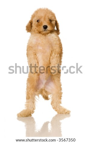 Apricot Poodle puppy in front of a white background - stock photo