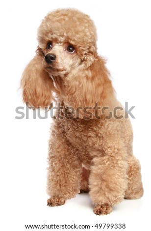 Apricot poodle puppy portrait. Isolated on a white background (studio shoot)