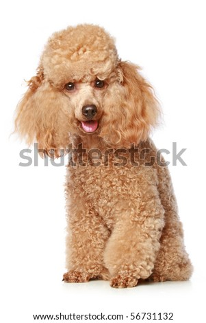 Apricot poodle puppy portrait on a white background - stock photo