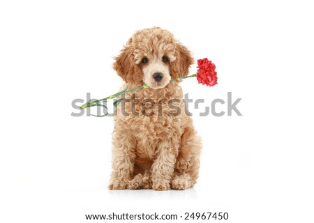 Apricot poodle puppy with red carnation. Isolated on white background - stock photo