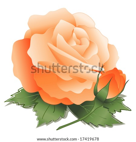 Apricot Rose and Bud. Orange rose, leaves, old fashioned pastel heritage bloom on white background. - stock photo
