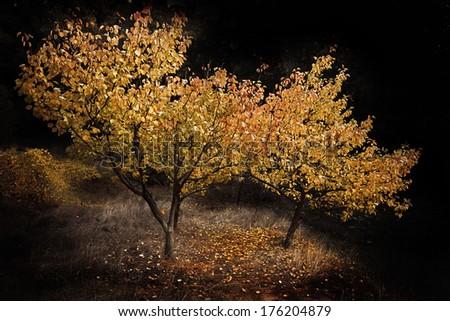 apricot tree - stock photo
