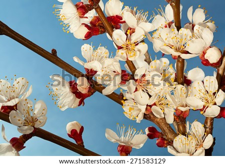 Apricot tree blossom flower on blue background - stock photo