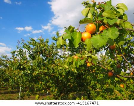 Apricot tree branch - stock photo