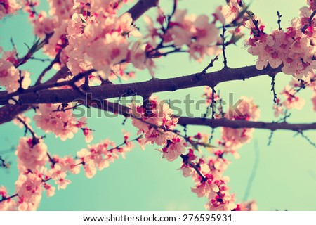 Apricot tree branch with flowers. Blooming tree branch with pink flowers. Floral flowers nature background with vintage, retro branch tree with beautiful flowers. Vintage apricot flowers background.