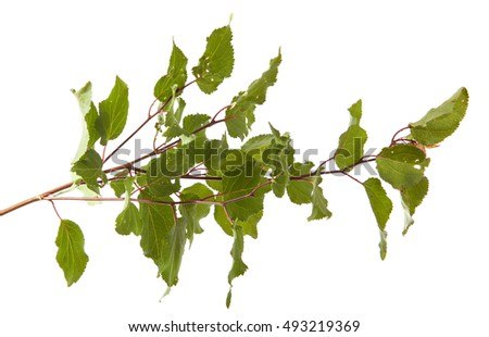 apricot tree branch with green leaves isolated on white background