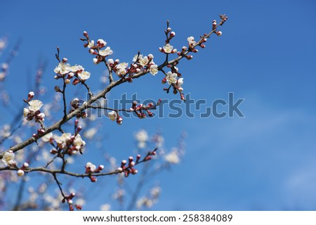 Apricot tree flower against blue sky, seasonal floral easter nature background, corner, frame - stock photo