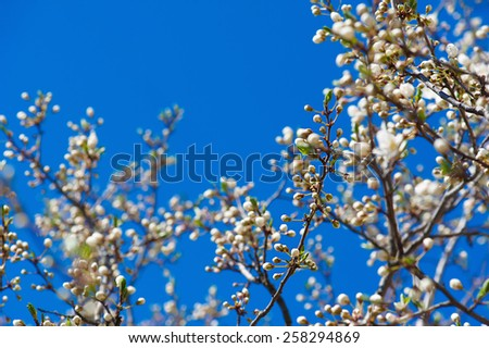 Apricot tree flower against blue sky, seasonal floral nature background, corner, frame - stock photo
