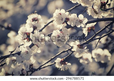 Apricot tree flower with buds blooming at springtime, vintage retro floral background, shallow depth of field - stock photo