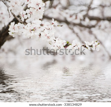 Apricot tree flower with water reflection, seasonal floral nature background - stock photo