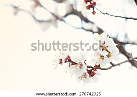 Apricot tree flowers. Spring white flowers on a tree branch. Apricot tree in bloom. Spring, seasons, time of year. White flowers of apricot tree - stock photo