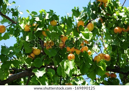 Apricot tree with ripe fruits - stock photo