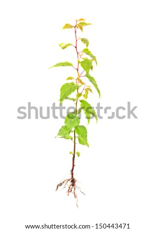 apricot young tree with root isolated on white